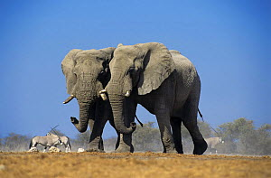 Two African elephants with Oryx in background, Etosha NP, Namibia  -  Tony Heald