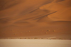 Sand dunes and oryx walking in distance, Sossus Vlei, Namib-Naukluft, Namibia  -  Ron O'Connor
