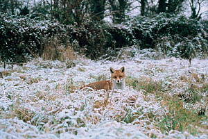 Dog fox in snow (Vulpes vulpes) UK  -  Barrie Britton