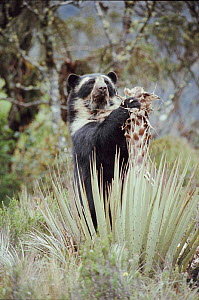 Spectacled bear feeding on puya in the Andes, SE Ecuador.  -  JIM CLARE