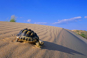 Male spur thighed tortoise on sand dune (Testudo graeca) Alicante, Spain. - Jose B. Ruiz
