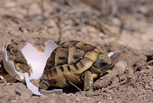 Spur thighed tortoise baby hatching from egg, Alicante, Spain  -  Jose B. Ruiz