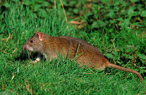 Brown rat at field edge. England - Mike Wilkes