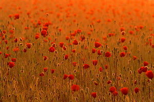 Long headed poppies in barley field. Angus, Scotland, UK, Europe - Niall Benvie