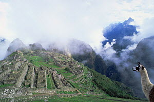 Machu Picchu and domestic llama seen from south with Huayna Picchu (Young Mountain) behind, Peru  -  Pete Oxford