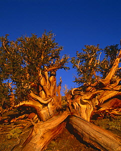 Bristlecone pine {Pinus aristata 'longaeva'} ancient tree, White Mountains, California USA - David Welling