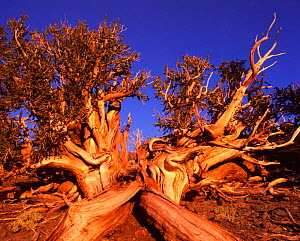 Bristle cone pine - ancient tree, White Mountains, California {Pinus aristata - David Welling