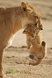 Lioness carrying 2 month-old cub South Africa, Mala Mala Game Reserve. (This image may be licensed either as rights managed or royalty free.)  -  Richard Du Toit
