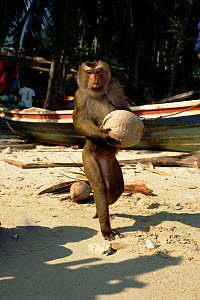 Trained Macaque collects coconuts for owner. Bali Ko Samui, Bali, Indonesia.  -  John Downer