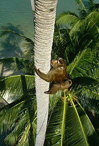 Macaque trained to climb Coconut tree and throw down nuts, Ko Samui, Bali, Indonesia.  -  John Downer