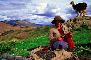 Local Indian woman with llama near Cusco, Peru, South America. Woman spinning in a traditional fashion.  -  Pete Oxford