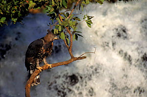 Crowned hawk eagle by waterfall, Zimbabwe. Captive bird - Neil Lucas