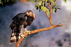 Crowned hawk eagle (Stephanoaetus coronatus) Zimbabwe. Captive - Neil Lucas