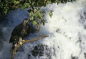 Crowned hawk eagle (Stephanoaetus coronatus) perched above waterfall, Zimbabwe, captive - Neil Lucas