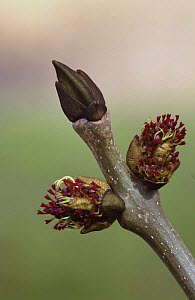 Flowers and buds of an Ash tree (Fraxinus excelsior) Angus Spring, Scotland UK  -  Niall Benvie
