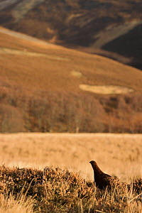 Male red grouse on moorland, Scotland  -  Niall Benvie