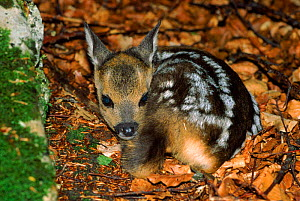 Young Roe deer (Capreolus capreolus) in leaf litter. Germany, Europe - Dietmar Nill