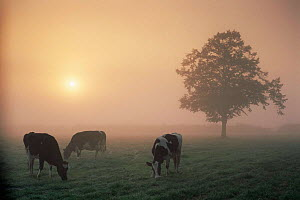 Cattle grazing at dawn on a misty morning, Dorset, England  -  David Noton