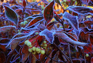 Red Osier Dogwood covered with frost, Wisconsin, USA  -  Larry Michael