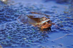 Common frogs spawning. Germany (Rana temporaria) amplexus  -  Dietmar Nill