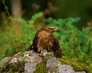 Sparrowhawk (female) with Whitethroat prey, Sweden  -  Bengt Lundberg