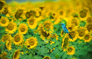 Common Roller in a field of Sunflowers. (Coracias garrulus) Germany.  -  Dietmar Nill