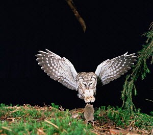 Tengmalm's Owl (Aegolius funerus) pouncing on mouse,  Germany - Dietmar Nill