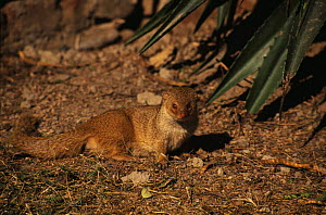 Indian Grey / Common mongoose (Herpestes edwardsi) India  -  Ashok Jain