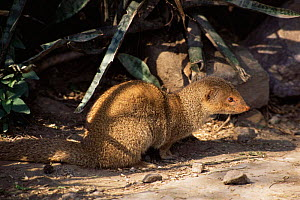 Indian Grey / Common mongoose (Herpestes edwardsi)  North Delhi Ridge Forest, India  -  Ashok Jain