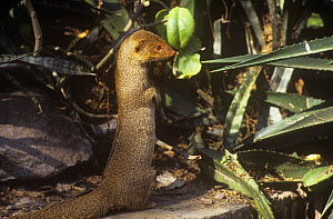 Indian Grey / Common mongoose (Herpestes edwardsi) sitting upright, India  -  Ashok Jain