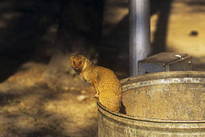 Indian Grey / Common mongoose (Herpestes edwardsi) emerging from dustbin, Delhi, India  -  Ashok Jain