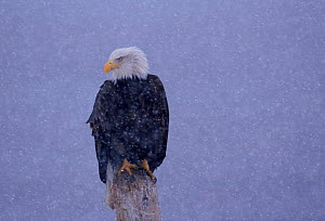 American Bald Eagle in snow,  Alaska  -  Lynn M Stone