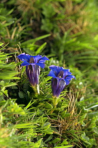 Stemless gentian in flower (Gentiana clusii) SWITZERLAND  -  Christoph Becker