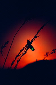 Glow Worm beetle female glowing at sunset to attract mate, Devon England (Lampyris noctiluca)  -  Andrew Cooper