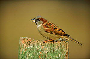 Common / House sparrow male, UK  -  Mike Wilkes