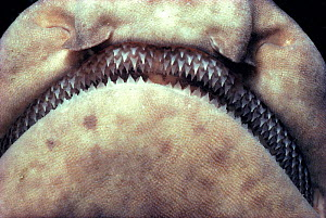 Rows of replaceable teeth of the swell shark. (C ventriosum) USA California  -  Jeff Rotman