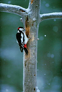 Great spotted woodpecker, Finland (Dendrocopus major)  -  Seppo Valjakka