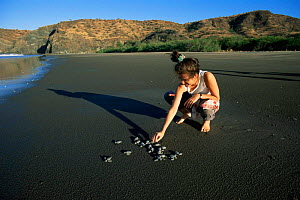 Biologist releases Olive Ridley turtle hatchlings from study nest, Santa Rosa NP Costa Rica  -  Doug Wechsler