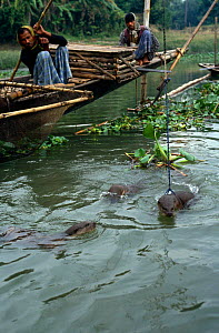 Smooth Indian Otter {Lutra perspicillata} on leash being used to round up fish, Bangladesh - John Downer