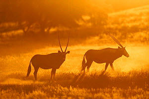 Gemsbok at dawn in Kruger NP. (Oryx gazella gazella) Africa. South Africa.  -  Richard Du Toit