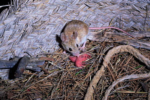 Wood Mouse with newborn babies in nest (Apodemus sylvaticus) Spain  -  Jose B. Ruiz