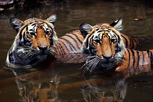 Young female tigers cool off in waterhole (Panthera tigris) Ranthambhore NP India  -  Anup Shah