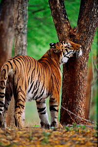 Tigress rubs face on tree trunk - scent marking her home range. Ranthambhore NP India  -  Anup Shah