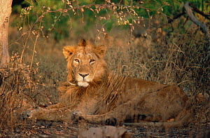 Male Asiatic lion lying in grass (Panthera leo) Gir forest, India  -  Anup Shah