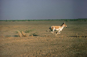 Khur / Indian wild ass running (Equus hermionus khur) Little Rann of Kutch, Gujarat, India - Anup Shah