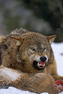 Grey wolf {Canis lupus} snarling over carcass in snow, captive  -  David Welling