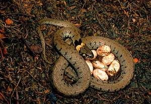 Grass snake guarding its eggs, UK  -  Mike Wilkes