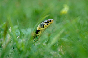 Head of Grass Snake in grass (Natrix natrix) UK  -  Mike Wilkes