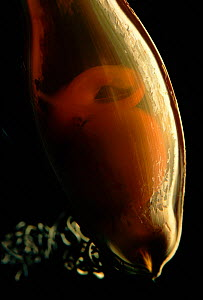 Eggcase of Swell shark showing embryo. (C. ventriosum) Pacific Cephaloscyllium - Jurgen Freund