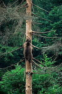 Brown bear cub climbing tree (Urus arctos) Bayerischer Wald, Germany.   captive  -  Christoph Becker